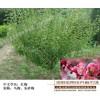 红梅桩苗圃-宏泰花卉苗木