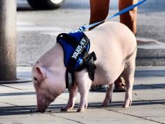吃过猪肉没见过猪跑必读:养猪几个小常识