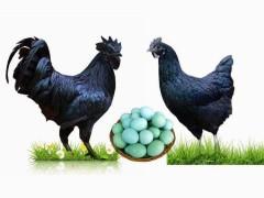 绿壳蛋鸡的养殖技术
