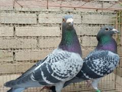[鸽子养殖]种鸽正确的饲养管理