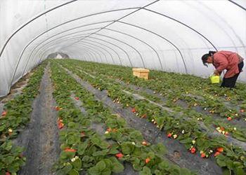 棚室草莓灰霉病的症状识别与防治