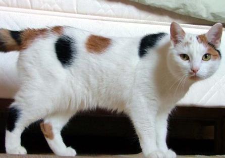 [马恩岛猫]极其罕见的非家用猫咪!