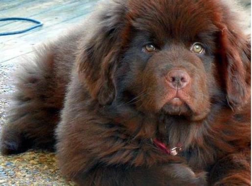 [高加索犬]忠诚的守护犬!